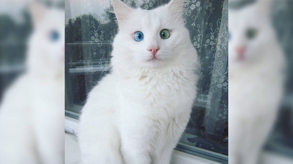White and Green Eye Logo - Snow-white cat has the most magical blue and green eyes