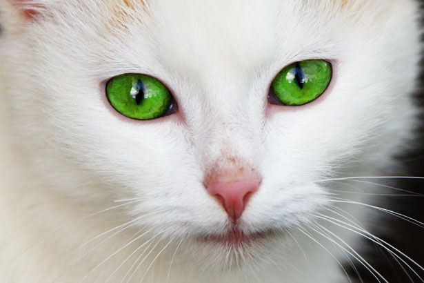 White and Green Eye Logo - Cat With Green Eyes Free Stock Photo - Public Domain Pictures