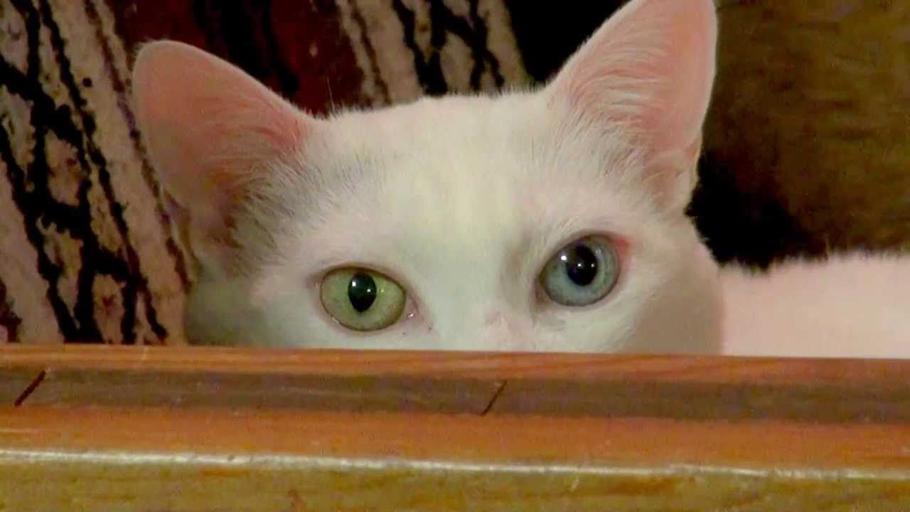 White and Green Eye Logo - White Cat With one Blue Eye and One Green Eye - YouTube