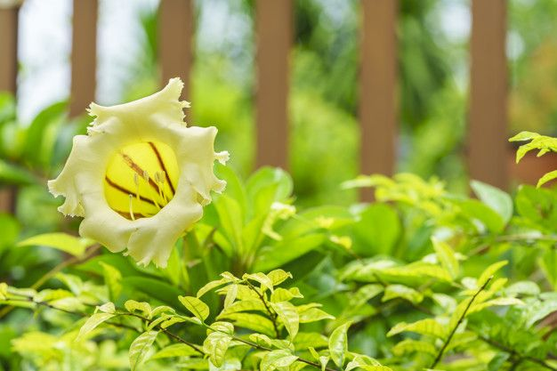 Yellow Flower Shaped Logo - Beautiful solandra grandiflora is large bell shaped golden yellow ...
