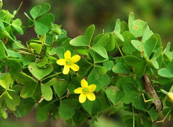 Yellow Flower Shaped Logo - Yellow Wood Sorrel (Oxalis stricta) Species Page